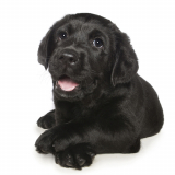 Guide Dog Pup