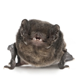 Stanley The Smiling Bat
