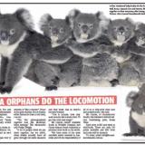 Koalas Sunday Times