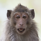 Macaque Grin