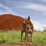 Uluru Dog