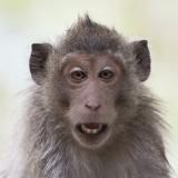 Macaque Grin
