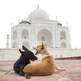 Taj Mahal Dogs