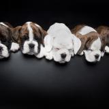 Boxer babies taken for Benfelds Boxers