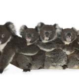 Koala Train