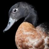 Daisy duck ed