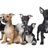 Foster puppies taken for SAFE WA