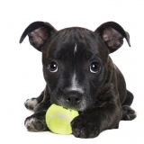 Penny the staffy puppy and her ball